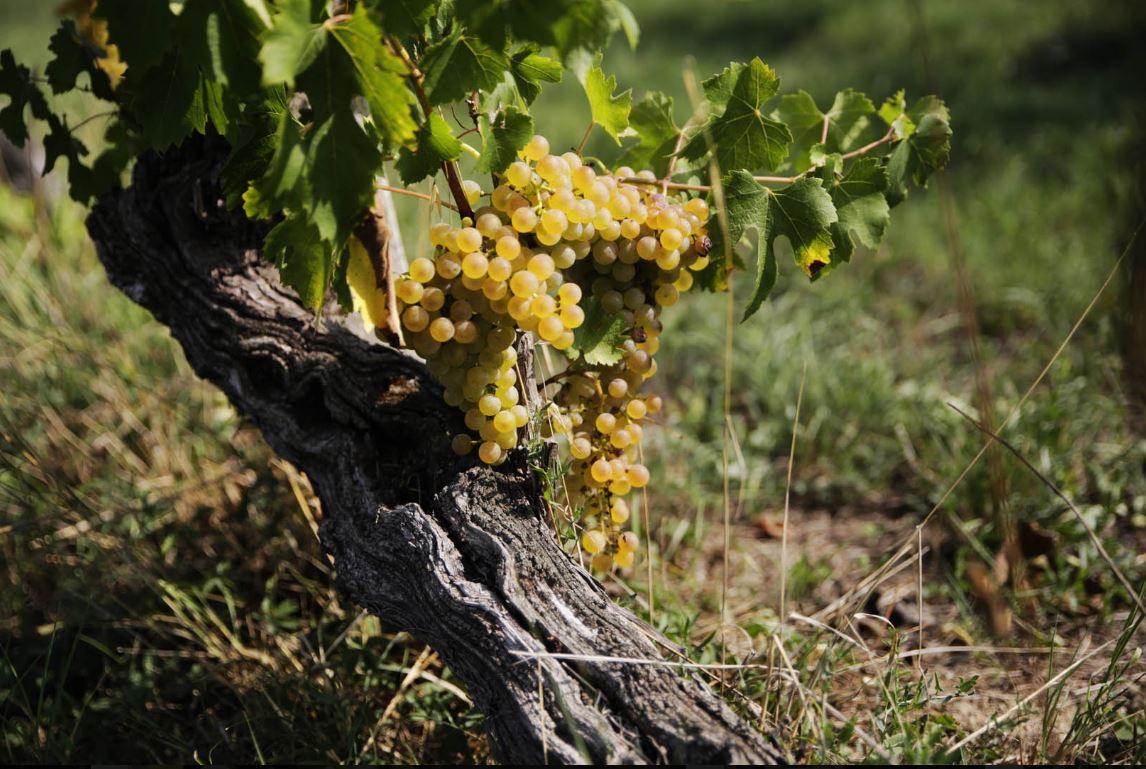 Alter Weinstock Trebbiano-Reben für Lugana-Wein