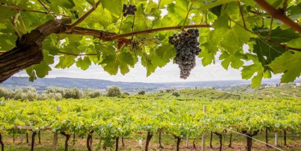 Weinberge von Lorenzo Begali im Valpolicella