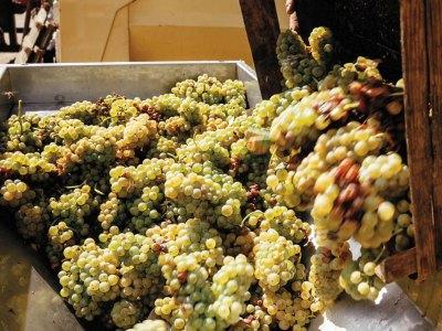 Reife Trebbiano-Trauben für den Pilandro Terecrea Lugana