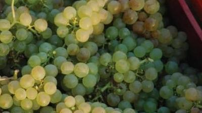 Reife Sauvignon Blanc-Trauben