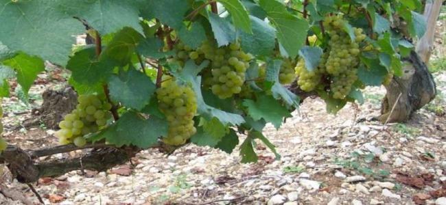 Chardonnay Trauben bei Billaud Simon im Chablis