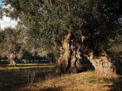 Olivenbaum auf der Weingut  Schola Sarmenti