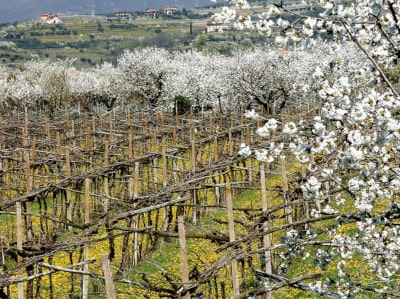 Rebgarten bei Verona im Frühling