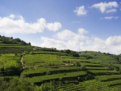 Weinberge im Soave Classico Gebiet