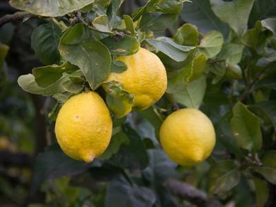 Zitronen für Limoncino