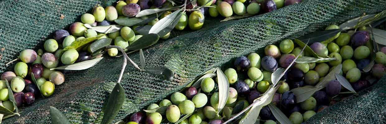 fruchtig-würziges Olivenöl