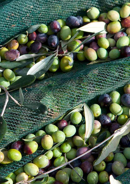 Olivenöl Entstehung und Verbreitung