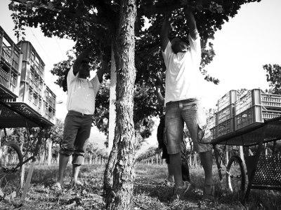 Die Trauben hängen hoch bei Cesari