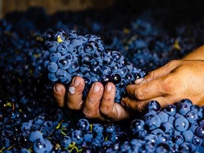 Frisch geerntete Pinot Nero-Trauben