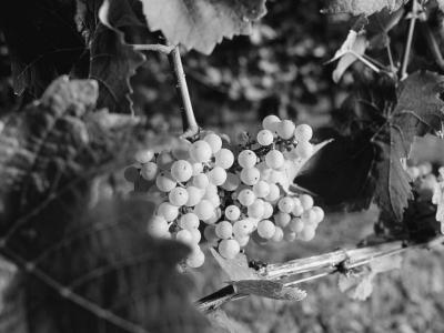 Riesling-Trauben für den JuWel-Wein