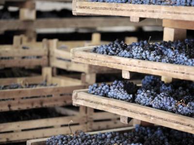 Trocknen der Trauben für Amarone Bulgarini