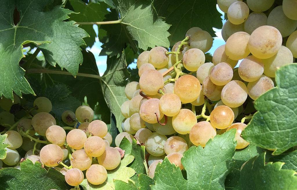 Trauben Lugana Wein