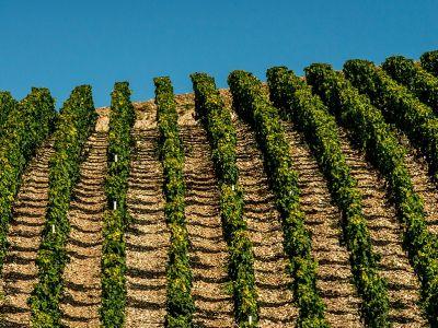 Klassische Chardonnay-Bestockung