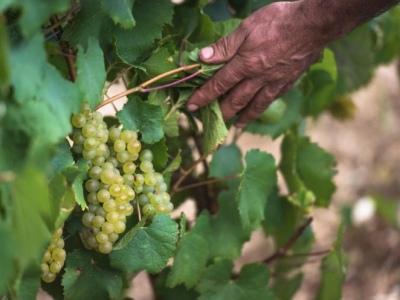 Reife Chardonnay-Trauben