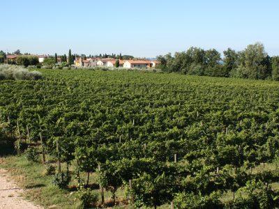 Weingarten direkt am Gardasee