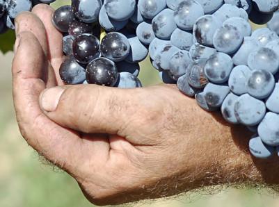Lese auf dem Weingut Baracchi