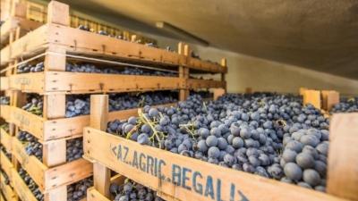 Amarone-Trauben bei Begali