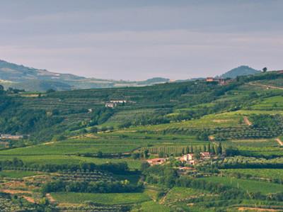 Weinberge der Tenuta Sant'Antonio