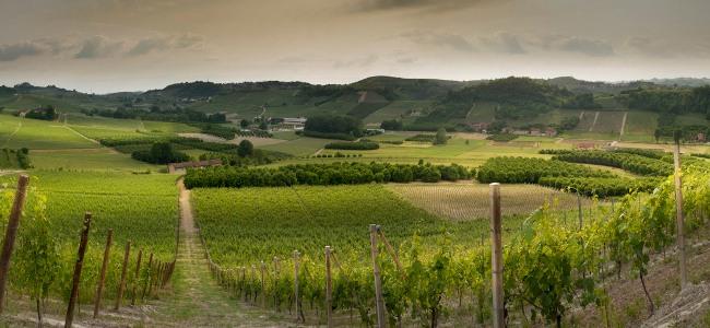Weinberg von Monchiero Carbone im Piemont