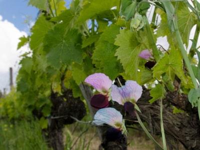 Bio-Wein seit 1988