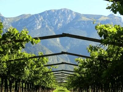 Weinberg von San Leonardon Wein
