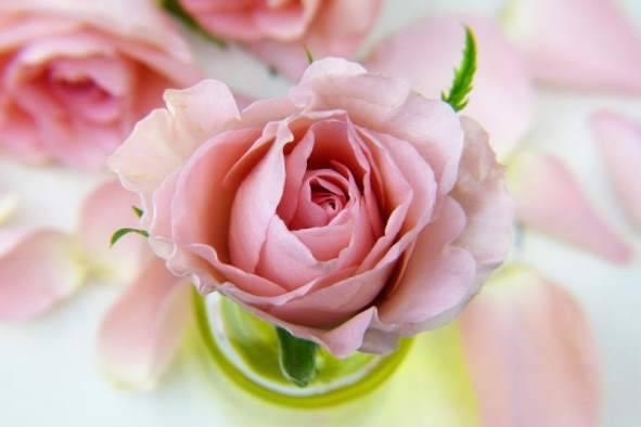 Rosato Italien Rose