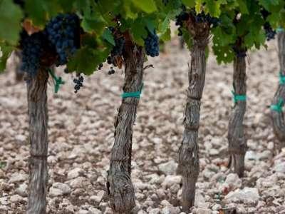 Primitivo-Trauben kurz vor der Ernte